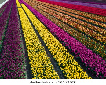 Aerial view of colorful Dutch tulip fields blooming in springtime. Shot with drone in Almere, The Netherlands