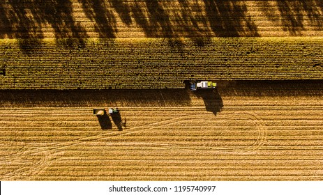 Aerial view. Combine harvests corn on the field, autumn evening sunset.
