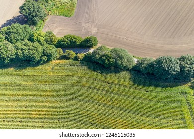Aerial view of a corn field
