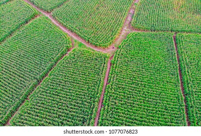 Aerial view of Corn field Top view