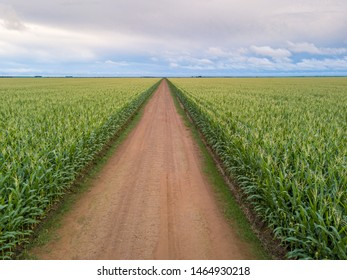 Aerial view of Cornfield and dirt road in clear summer day. Agriculture, harvest and farm concept. Genetically modified and transgenic corn for export, produced in Mato Grosso, Brazil.