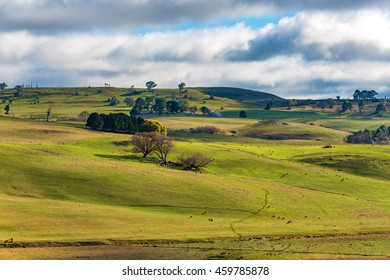 Aerial view of cows grazing on green paddock against blue sky. Cattle on the rural farm agriculture scene. Australian outback landscape on sunny day. Copy space