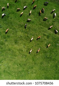 Aerial view of cows herd grazing on pasture field, top view drone pov