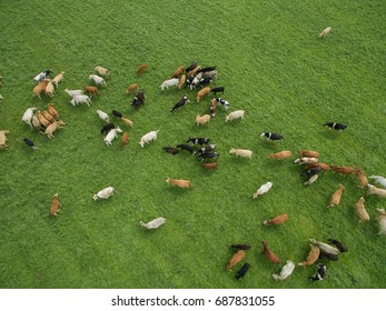 aerial view of cows in a herd on a green pasture in the summer