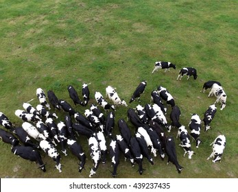 Aerial view of cows in the pasture - germany