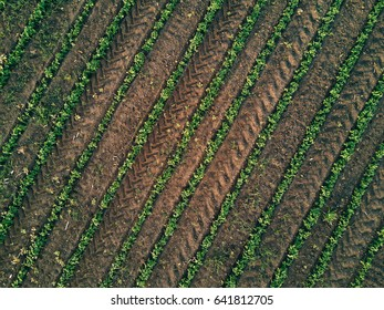 Aerial view of cultivated agricultural soybean field, drone pov top view