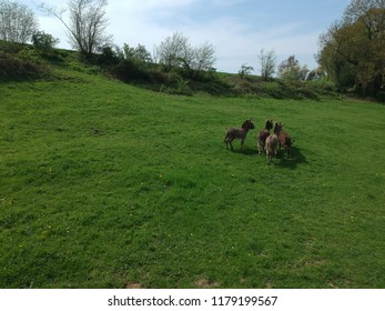 Aerial view of a donkey herd walking away in grass meadow surrounded by forest on a summer day in France