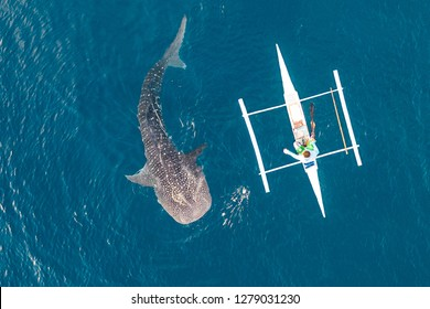 Aerial view from the drone. Fishermen feed gigantic whale sharks ( Rhincodon typus) from boats in the sea in the Philippines, Oslob. These sharks have no teeth and are filter feeders.