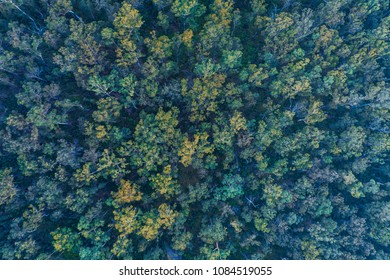 Aerial view of Eucalyptus Trees