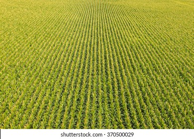 Aerial view of a farm field with rows of corn plants