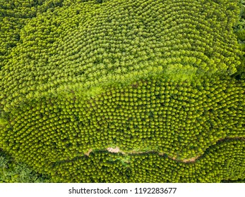 Aerial view of fast growing Transgenic Eucalyptus forest in China