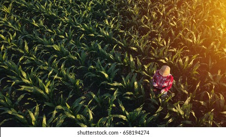Aerial view of female farmer with digital tablet computer in cultivated agricultural maize crop corn field, drone pov