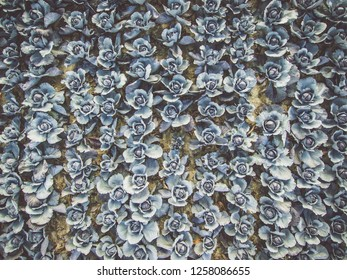 Aerial view of a field of ripe blueberry cabbage