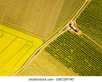 Aerial view of flowering rapeseed field and orchard of fruit trees. Beautiful outdoor countryside scenery from drone view. Many blooming plants and trees. Spring theme background.