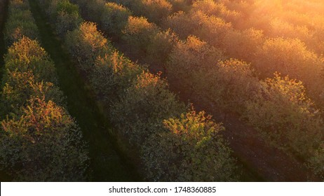 Aerial view of fruit orchard. Cherry trees at the end of the blooming season. Sunny morning, sunrise (sunset), soft sunlight