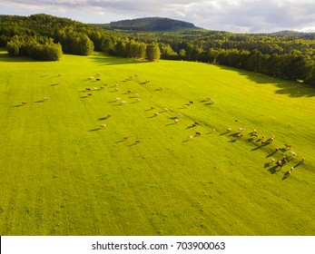 Aerial view of grazing cows on pasture in Novohradske hory (Novohradske mountains). Cattle herd from bird eye view. Drone flight over farmland in countryside.