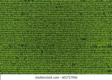 Aerial view of a green corn field
