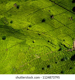 Aerial View of Green Lush Walini Tea Plantation, Rancabali, Ciwidey, Bandung, West Java, Indonesia