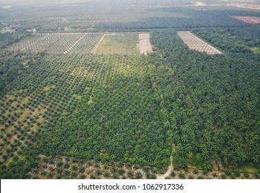Aerial view of green palm oil plantation