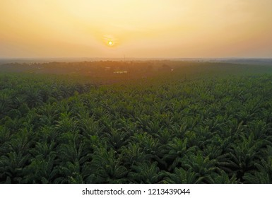 Aerial view of green palm plantation during sunrise