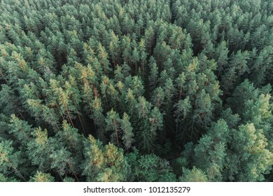Aerial view of green pine forest captured from above.