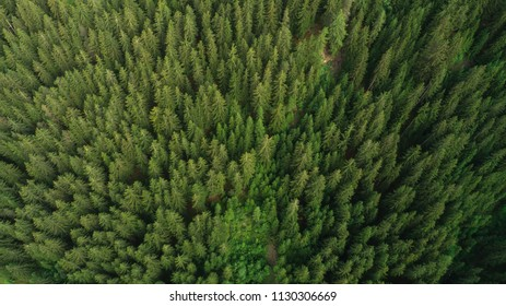 Aerial view green pine forest
