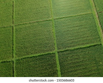 Aerial View of Green Rice Field  for background