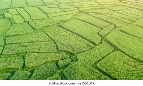 Aerial view of the green rice field, with the sunlight from the top-right, Nan, Thialand