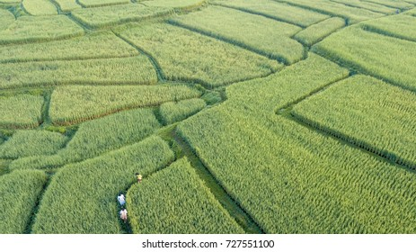 Aerial view of the green rice field, almost at the full grown, look lize a maze with people walking in the rice field, Nan, Thialand