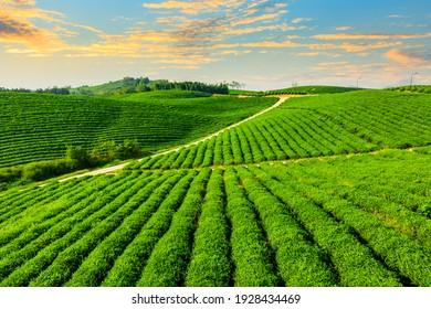 Luftbild der grünen Teeplantage.