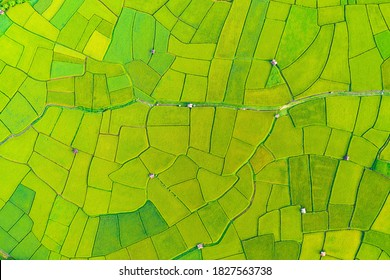 Aerial view of the green and yellow rice field, of agriculture in rice fields for cultivation in Nan Province, Thailand. Natural the texture for background