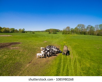 Aerial view of a group of north german dairy cows on a green fresh grass field in the summer in germany. The cows are standing close together at a watering hole.