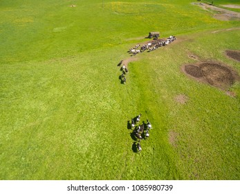 Aerial view of a group of north german dairy cows on a green fresh grass field in the summer in germany.