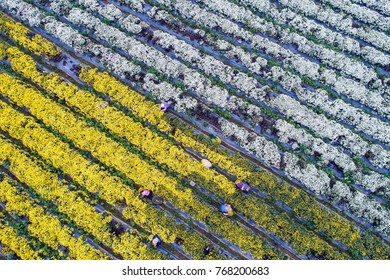 Aerial view of harvesting organic chrysanthemum(daisies) in Tongluo, Miaoli County of Taiwan , which flowers has therapeutic effect like herbs or tea after dried.