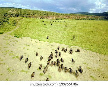 Aerial view of herd of buffaloes running.