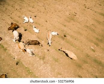 Aerial view herd of cows at field in summer