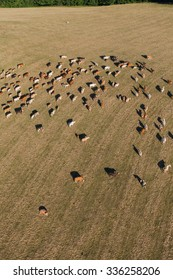 aerial view of herd of cows at summer green field in Poland