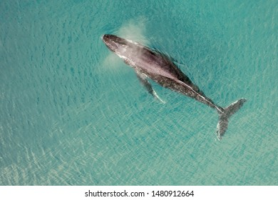 Aerial view of a humpback whale