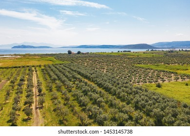 Aerial view of a large drone plantation with olive trees, planted in straight rows against a background of blue sea and mountain tops. Olive garden. Olive tree - the symbol of Greece