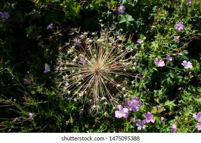 Aerial view of a llarge allium flower head in an English garden