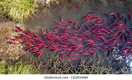 Aerial view looking down at Kokanee salmon spawning