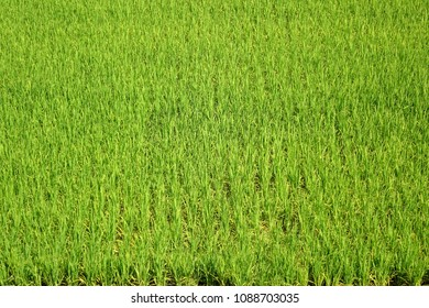 Aerial view of a lush and green rice field