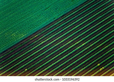 Aerial view of lush green vineyard fields in Napa valley, California