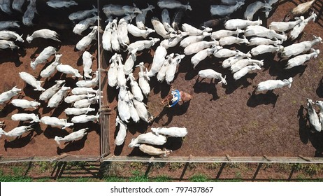 Aerial view of Nelore cattle in the corral with cowboys