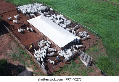 Aerial view of nelore cattle in the corral