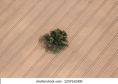Aerial view of an Oak tree in a field of corn with tractor tyre lines going diagonal across the field Oakley Hampshire