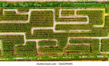 Aerial view on corn maze. Corn field in Boynton Beach, Florida. Drone landscape photo.