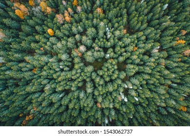 Aerial view on pine forest in autumn colors. Aerial landscape of breathtaking yellow birch and green pine woods. Earthly texture. Abstract overview. Maze of trees.