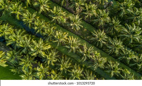 Aerial view on plantation of coconut trees, Thailand