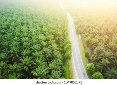Aerial view on plantation of palm trees background, Top view aerial shot of the palm grove.